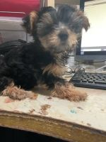 YorkiePoo Puppies for sale in Inglewood, CA, USA. price: NA