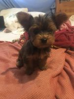 YorkiePoo Puppies for sale in Panorama City, Los Angeles, CA, USA. price: NA