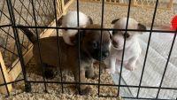 Yorkillon Puppies Photos
