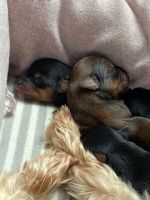 Yorkshire Terrier Puppies for sale in Athens, TN 37303, USA. price: NA
