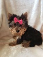 Yorkshire Terrier Puppies for sale in Greenville, SC, USA. price: NA