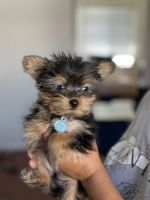 Yorkshire Terrier Puppies for sale in Albany, NY, USA. price: NA