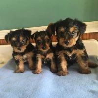 Yorkshire Terrier Puppies for sale in Sacramento, CA 94203, USA. price: NA