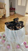 Yorkshire Terrier Puppies for sale in Texarkana, TX, USA. price: NA