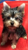 Yorkshire Terrier Puppies for sale in Perryville, MO 63775, USA. price: NA