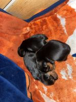 Yorkshire Terrier Puppies for sale in Garfield, KY, USA. price: NA