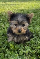 Yorkshire Terrier Puppies for sale in Wonewoc, WI 53968, USA. price: NA