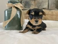 Yorkshire Terrier Puppies for sale in Thomasville, AL 36784, USA. price: NA