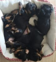 Yorkshire Terrier Puppies for sale in Pueblo, CO, USA. price: NA