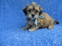 Yorkshire Terrier Puppies for sale in Hacienda Heights, CA, USA. price: NA
