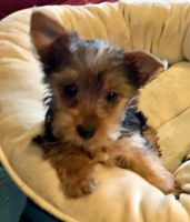 Yorkshire Terrier Puppies for sale in Prescott, AZ, USA. price: NA