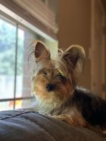Yorkshire Terrier Puppies for sale in Conway, AR, USA. price: NA