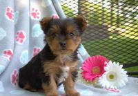 Yorkshire Terrier Puppies for sale in Buffalo, NY, USA. price: NA