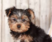 Yorkshire Terrier Puppies for sale in Indianapolis, IN, USA. price: NA