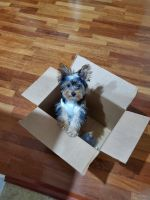 Yorkshire Terrier Puppies for sale in Tallahassee, FL, USA. price: NA