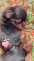 Yorkshire Terrier Puppies for sale in Elkin, NC, USA. price: NA