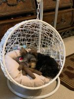 Yorkshire Terrier Puppies for sale in Memphis, TN, USA. price: NA