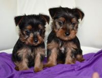 Yorkshire Terrier Puppies for sale in Sacramento, CA, USA. price: NA