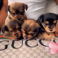 Yorkshire Terrier Puppies for sale in Peachtree City, GA, USA. price: NA