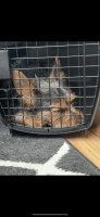 Yorkshire Terrier Puppies for sale in Russellville, KY 42276, USA. price: NA