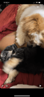 Yorkshire Terrier Puppies for sale in Decatur, IL, USA. price: NA