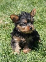 Yorkshire Terrier Puppies for sale in Midland Park, NJ 07432, USA. price: NA