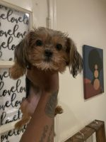 Yorkshire Terrier Puppies for sale in Richmond, VA 23227, USA. price: NA