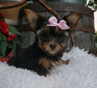 Yorkshire Terrier Puppies for sale in Concord, NC, USA. price: NA