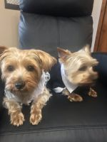 Yorkshire Terrier Puppies for sale in Cooperstown, NY 13326, USA. price: NA