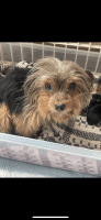 Yorkshire Terrier Puppies for sale in East Chicago, IN, USA. price: NA