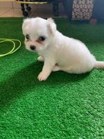 Yorkshire Terrier Puppies for sale in Brooklyn, NY, USA. price: NA