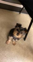 Yorkshire Terrier Puppies for sale in Mountville, PA, USA. price: NA