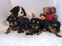 Yorkshire Terrier Puppies for sale in Kyle, TX, USA. price: NA