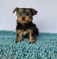 Yorkshire Terrier Puppies for sale in Dracut, MA 01826, USA. price: NA