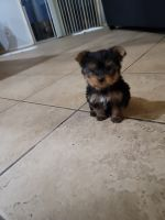 Yorkshire Terrier Puppies for sale in Tucson, AZ, USA. price: NA
