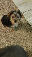 Yorkshire Terrier Puppies for sale in Kinston, NC, USA. price: NA