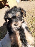 Yorkshire Terrier Puppies for sale in San Antonio, TX 78233, USA. price: NA