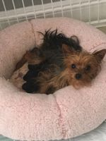 Yorkshire Terrier Puppies for sale in Miami, FL, USA. price: NA