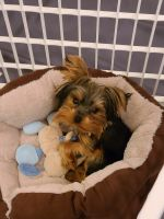 Yorkshire Terrier Puppies for sale in Douglasville, GA, USA. price: NA