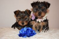Yorkshire Terrier Puppies for sale in 157 Dolson Ave, Middletown, NY 10940, USA. price: NA