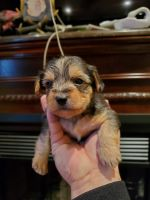Yorkshire Terrier Puppies for sale in Monroe Township, NJ 08831, USA. price: NA