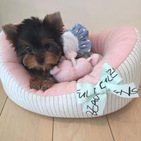 Yorkshire Terrier Puppies for sale in Dallas, TX, USA. price: NA
