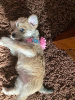 Yorkshire Terrier Puppies for sale in Surprise, AZ, USA. price: NA