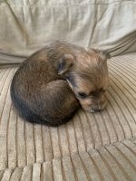 Yorkshire Terrier Puppies for sale in The Bronx, NY, USA. price: NA