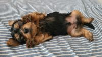 Yorkshire Terrier Puppies for sale in Ocoee, FL 34761, USA. price: NA