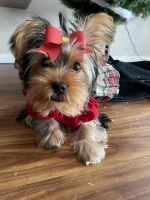 Yorkshire Terrier Puppies for sale in San Antonio, TX 78217, USA. price: NA