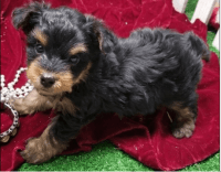 Yorkshire Terrier Puppies for sale in Richmond, VA, USA. price: NA