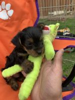 Yorkshire Terrier Puppies for sale in 30130 Las Flores Way, Thousand Palms, CA 92276, USA. price: NA
