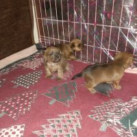Yorkshire Terrier Puppies for sale in Willowbrook, KS 67501, USA. price: NA