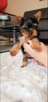 Yorkshire Terrier Puppies for sale in Tampa, FL, USA. price: NA